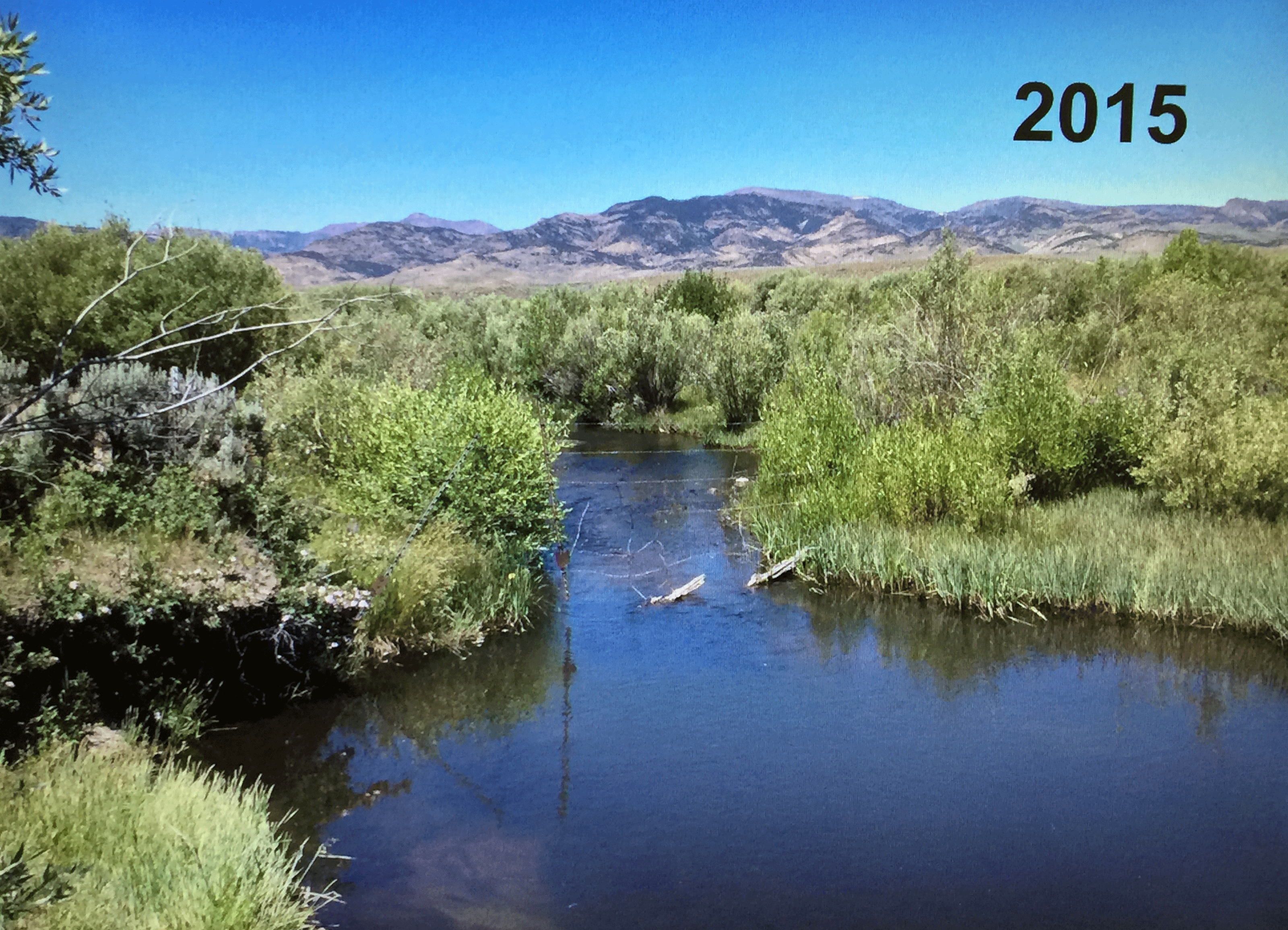 Here is the same Cottonwood Guest Ranch riparian area in 2015. Since these areas account for only around 2% of the landscape in the arid West, protecting the water resource is vital for both cattle and wildlife.