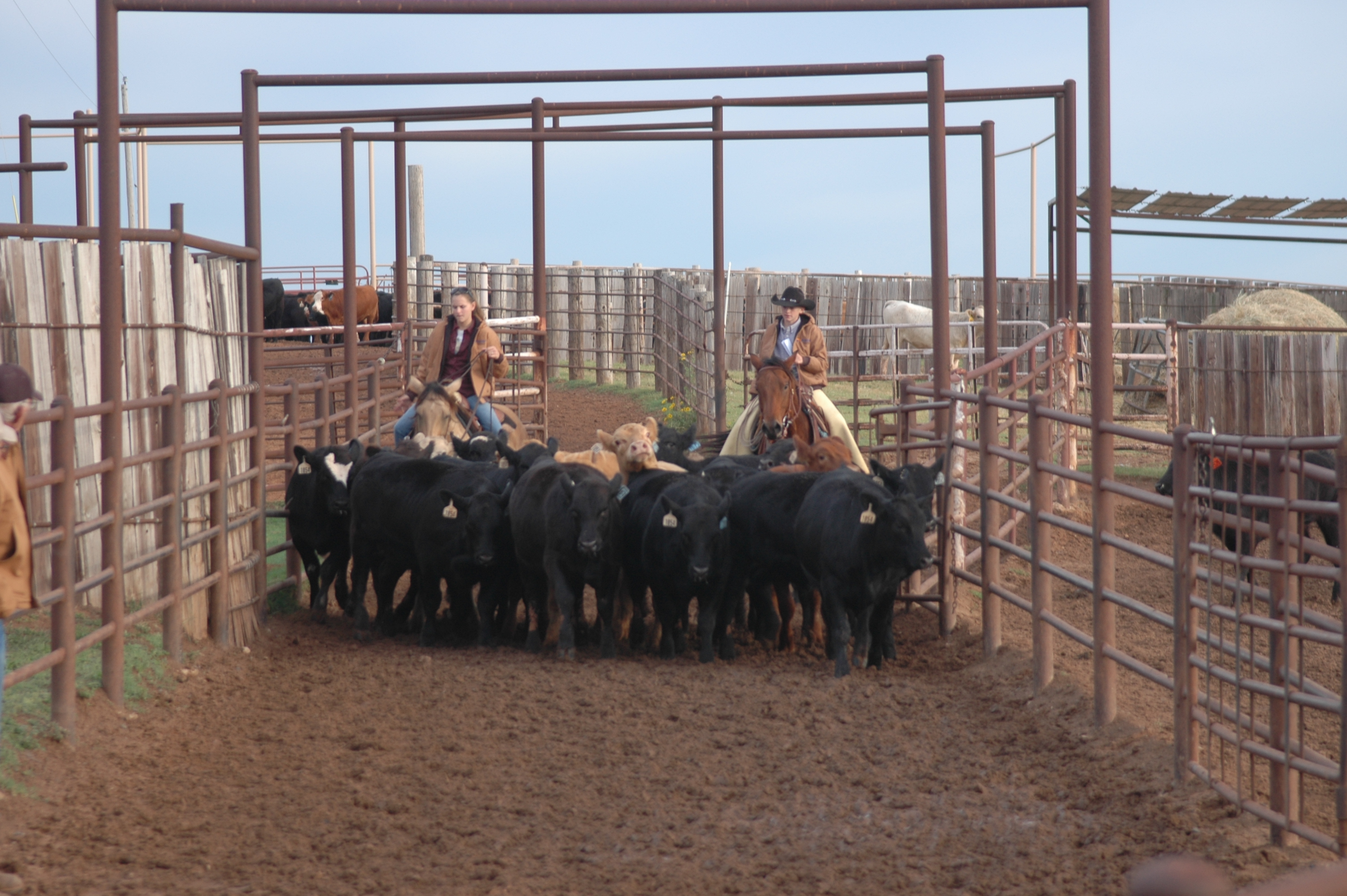 More tips on cattle handling