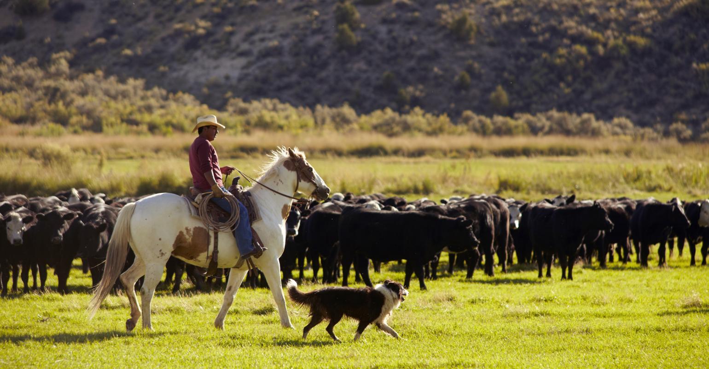 cattle on range.jpg