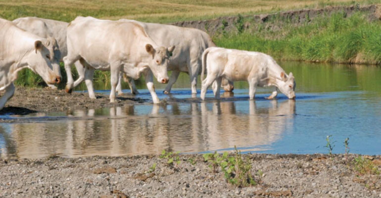 Liver Flukes Expand Range To 26 States   Beef Magazine