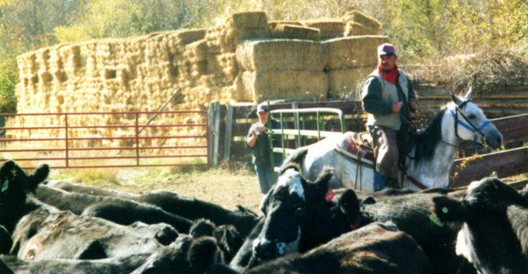 Ranchers make culling decisions