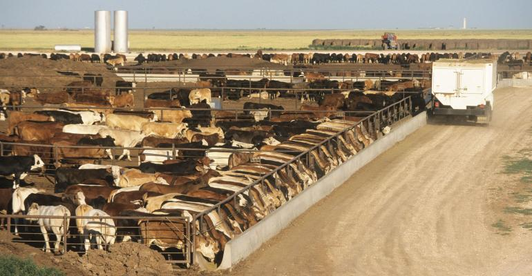 Cattle line up to eat at a feedlot