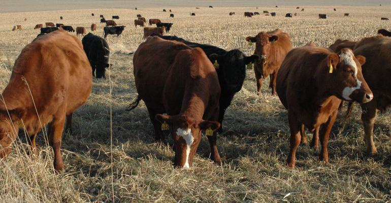 closeup of cattle grazing in field