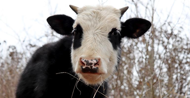 bull grazing in pasture