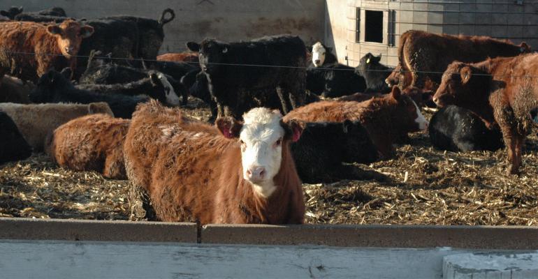 beef cattle in pen