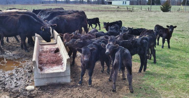 Cattle and calves at feeder in muddy field