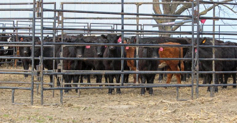 Should you grow bigger beef calves amid pandemic?