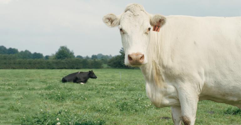 Cattle grazing in a field