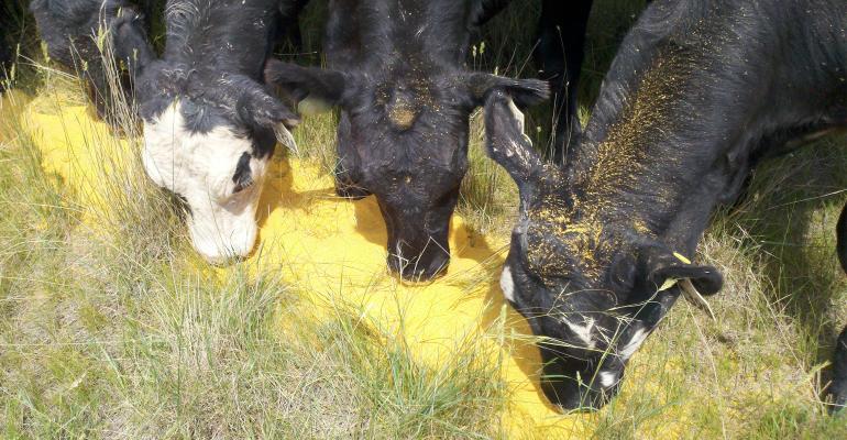cattle at feeder eating grain.