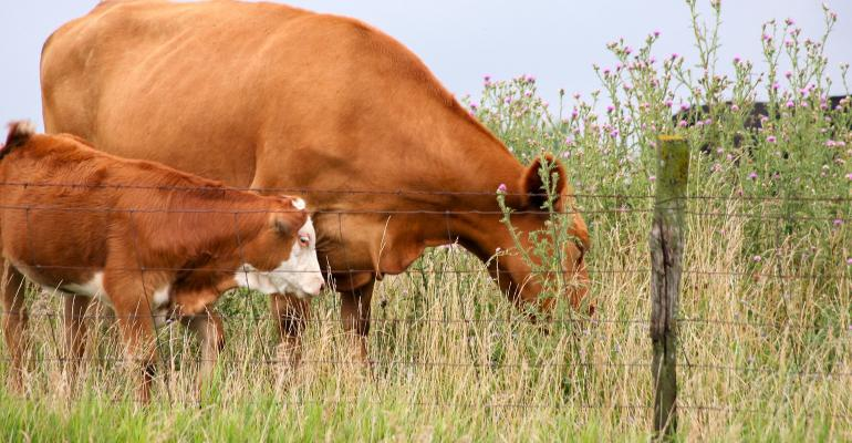 A calf and its mom grazing near a fence