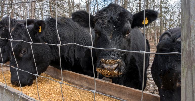 black angus cows eating corn