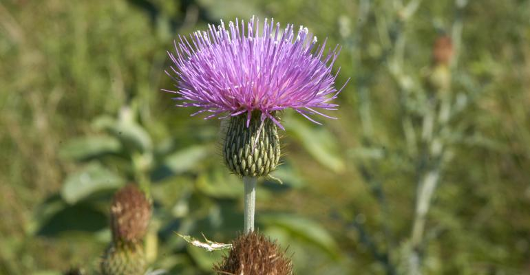 A close up of Canada thistle in a crop field