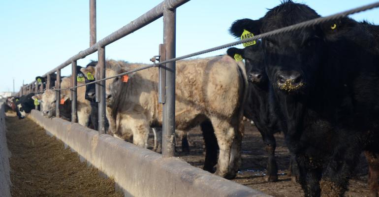 Beef cattle in a feedlot
