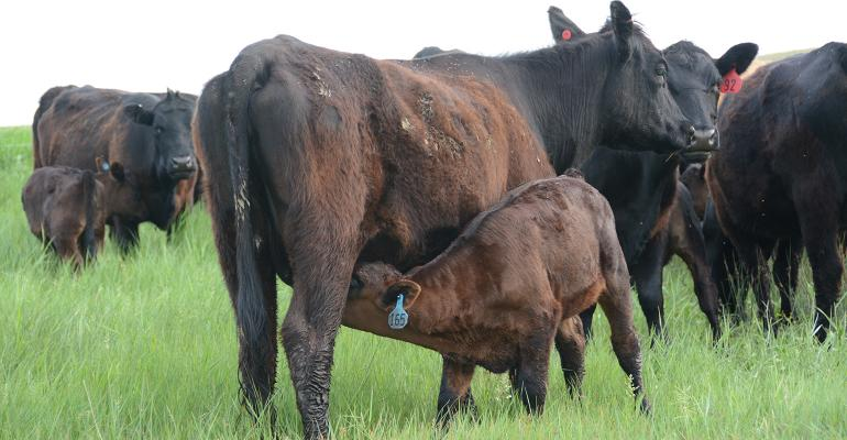 calf nurses in a pasture