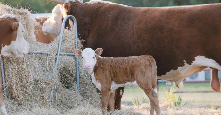 Beef cattle and calf eating hay in field