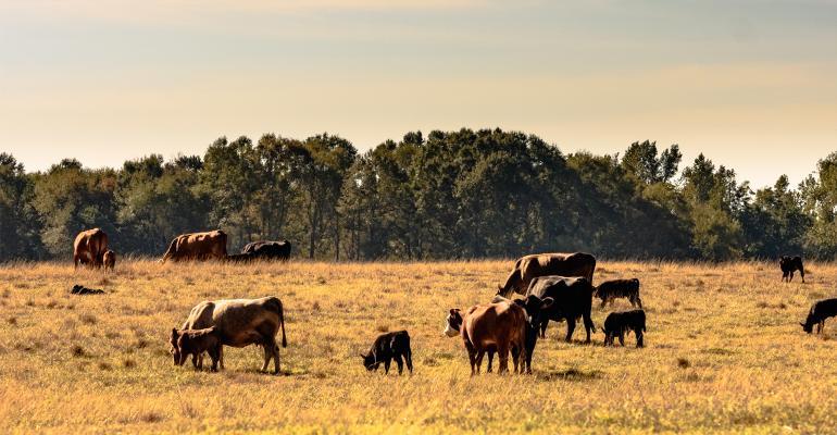 Cattle in field stricken by drought