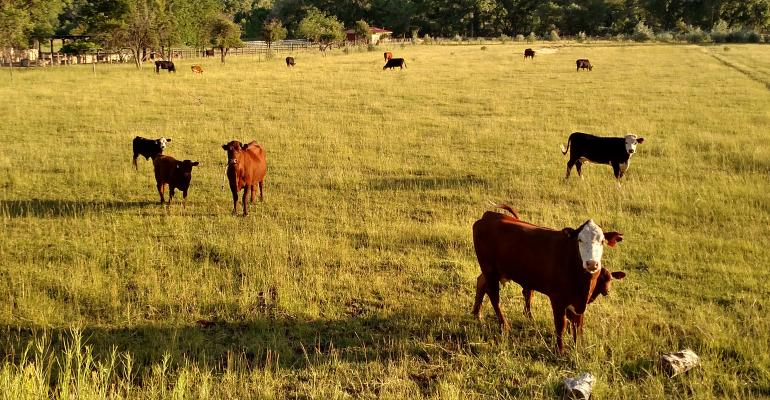 Beef cattle scattered on a pasture
