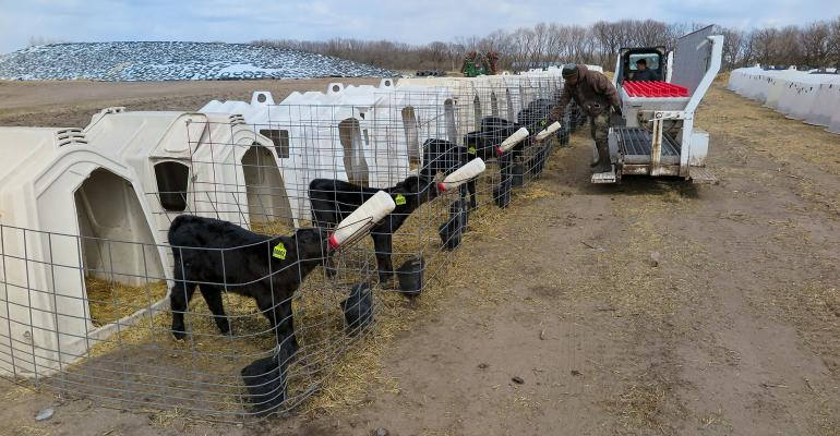 Bottles are delivered to a row of beef calves
