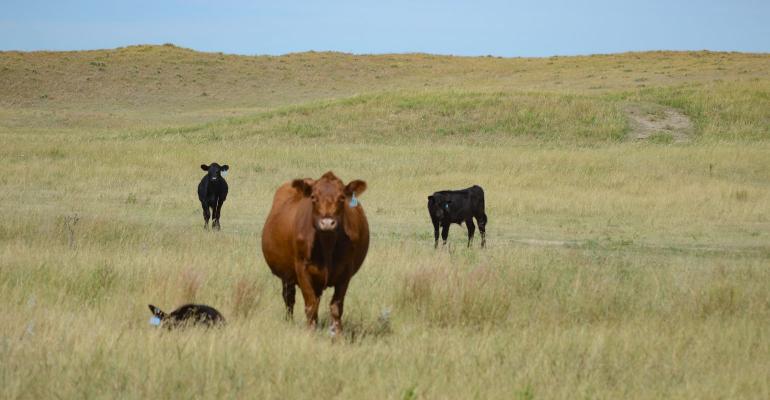Cattle graze on pasture