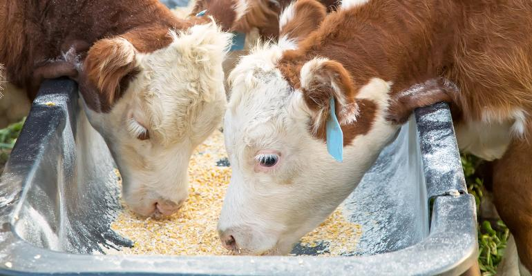 Hereford calves at feed trough