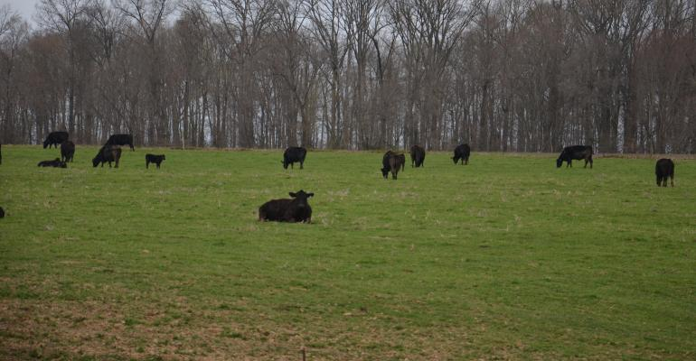 Beef cattle grazing in field