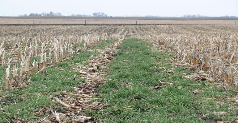 Cover crops amongst dead corn plants