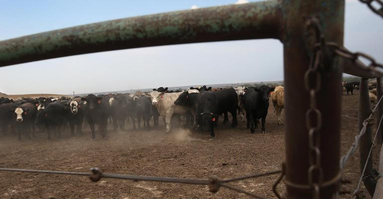 Beef cattle gathered in a feedlot surrounded by a metal fence