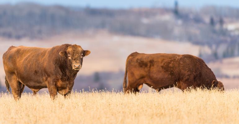 2 beef bulls in field