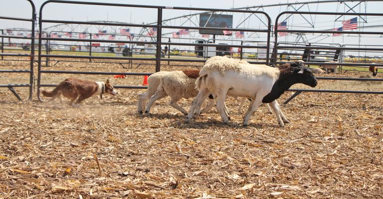 Border collie gathers up a set of sheep during Husker Harvest Days demonstration