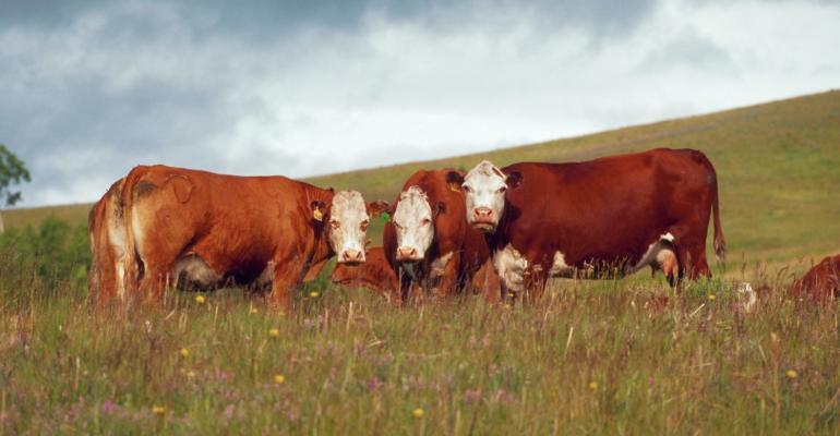 1-27-21 beef cow.jpg