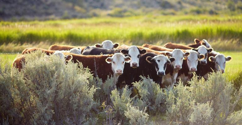 10-29-20 beef cattle 2.jpg