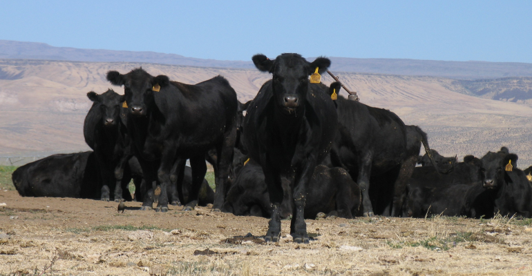 Black cows on pasture