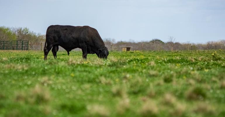 Angus bull grazing in a lush pasture