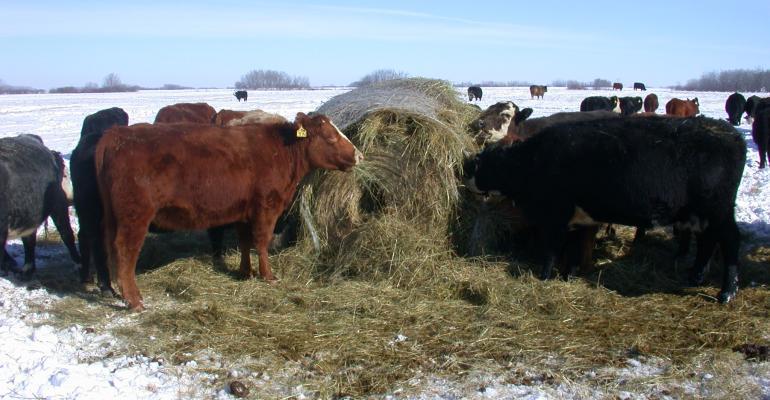 11-12 Klein - bale grazing.jpg