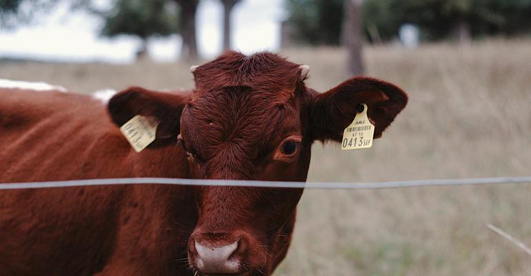11-17-20 stocker_cattle.jpg