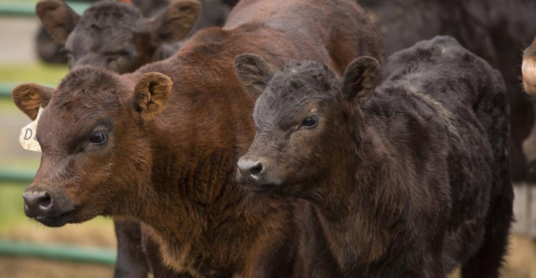 11-19-20 beef calves.jpg