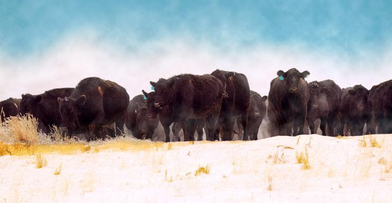 Black Angus herd that is being driven through a snowy winter field
