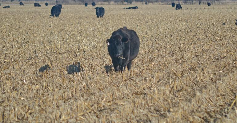 Cattle and corn stalk residue