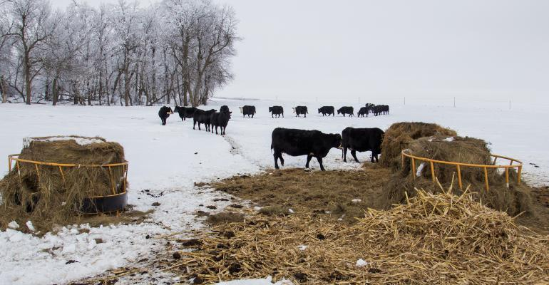 Herd of cattle walking out to their winter feeding area.