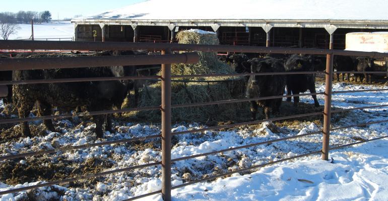 cattle in pen feeding on bales of hay