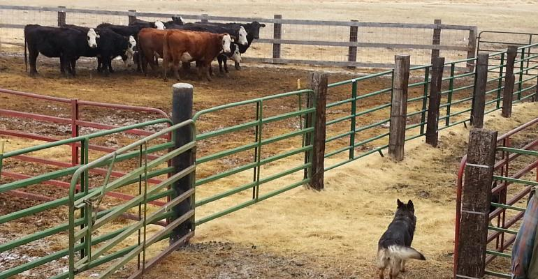 Oregon State University researchers simulated a wolf encounter with German Shepherds to measure stress levels in beef cows.