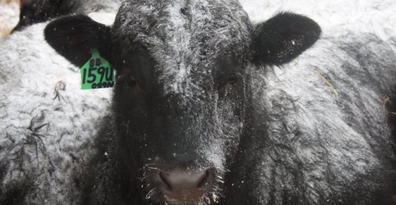 Winter Herd Bull