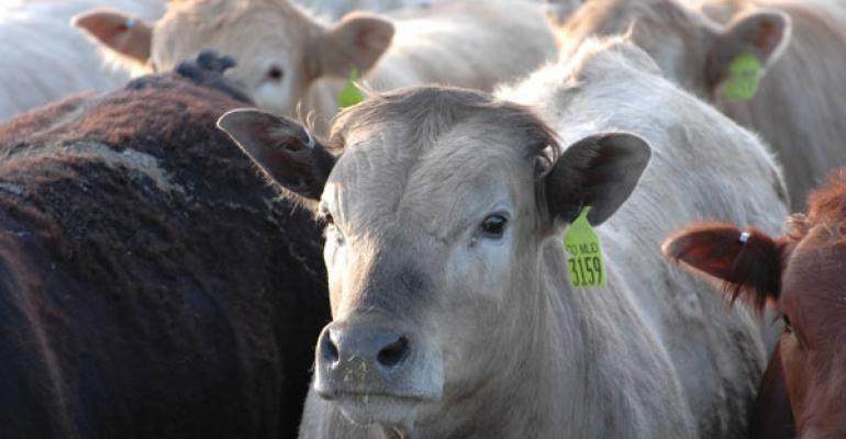 Full grown steers in a feedlot