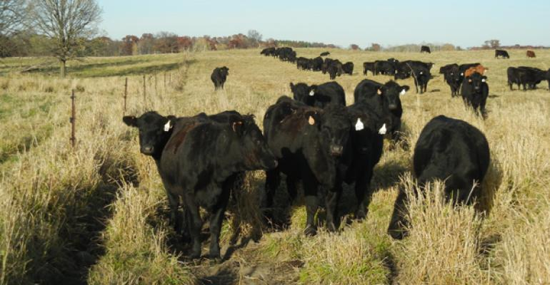 Cattle eating on pasture