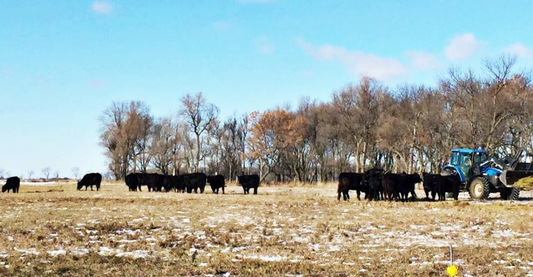 heifer nutrition