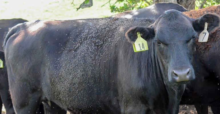2021_cattle-horn-flies2500.jpg
