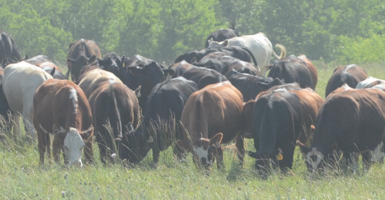 Antibiotic-free cattle on pasture