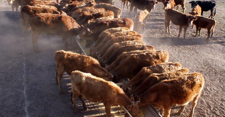 cattle at pasture feedbunk
