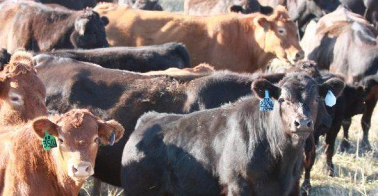 Beef cattle