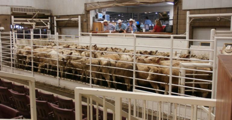 A nice bunch of Charolais calves